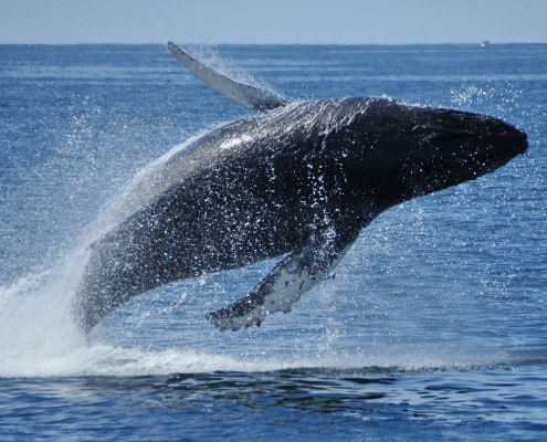 Whale Watching Tours Ucluelet Tofino