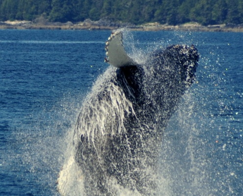 Whale Watching Cruises Ucluelet