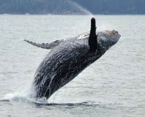 Whale Watching Tours Ucluelet