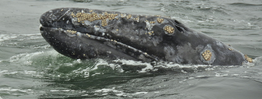 Gray Whale Watching Tours