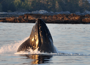 Whale Watching Ucluelet