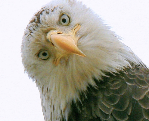 Close up of head & face of Bald eagle looking straight into camera
