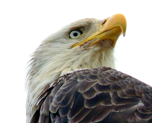 Close up of Bald Eagle looking to the right
