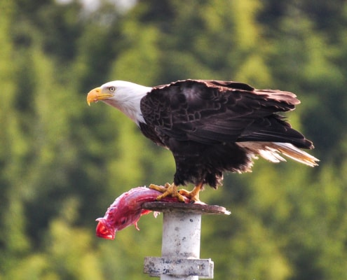Bald Eagle sitting on pole with red fish in his talons, ready to eat lunch