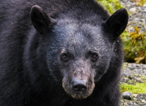 Close up of Black Bear, face & head, looking straight at camera