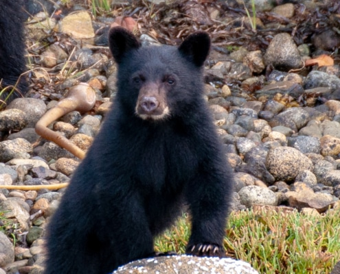 Black Bear cub looking at viewer, standing up and leaning on rock with his front legs