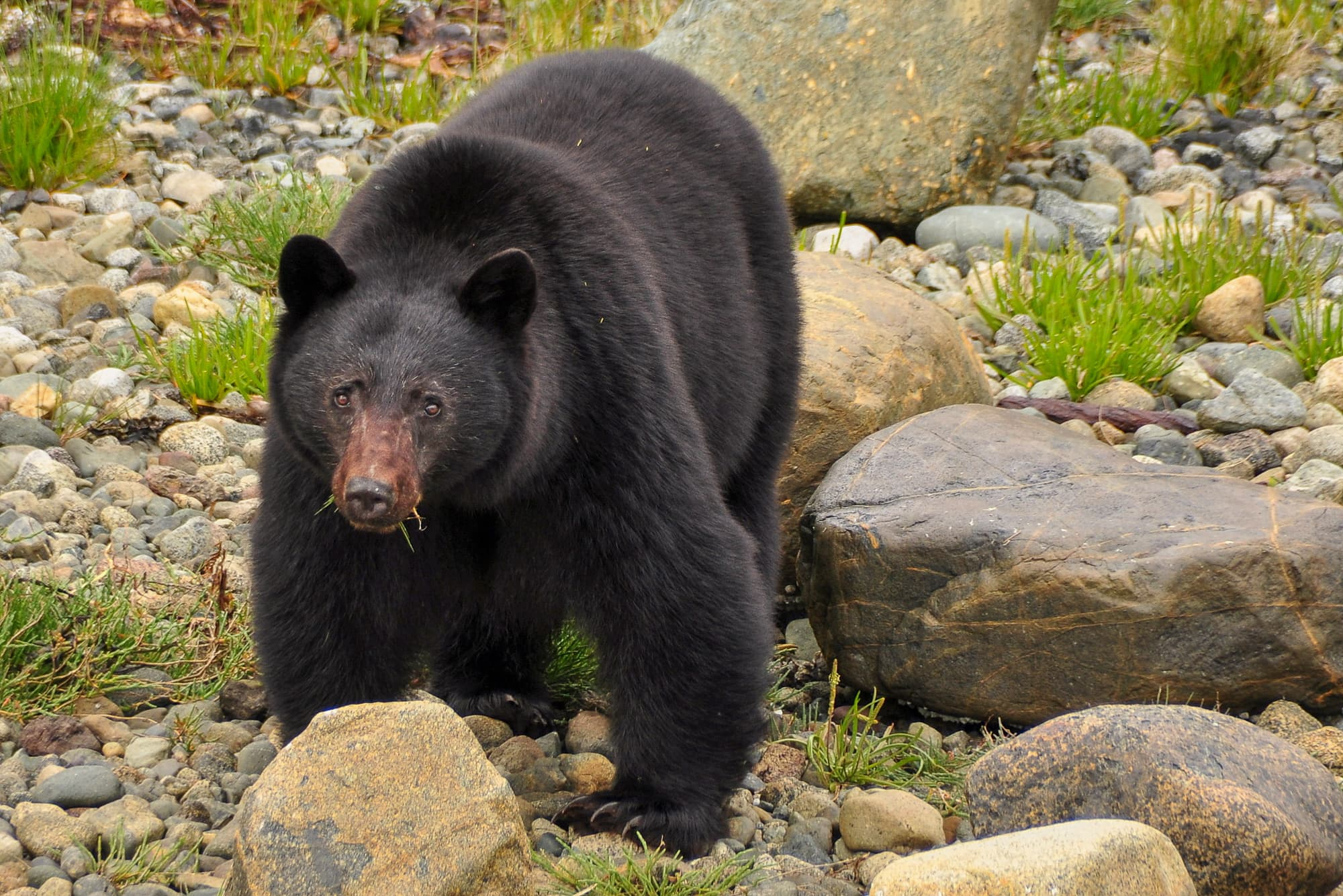 large Black Bear on shore, looking at viewer with grass sticking out of sides of mouth