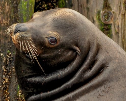 Close up of head California Sea Lion looking at viewer