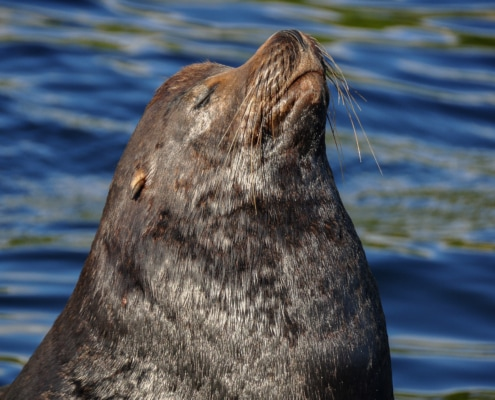 Close up of California Sea Lion with his eyes closed and nose pointed towards the sky