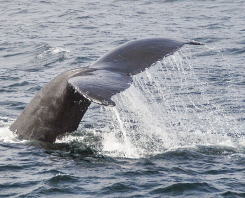 Side view of Gray whale's tail as it dives beside boat