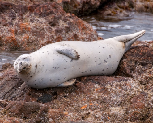 White Harbor seal with black spots, lying on a rock on his side with eyes closed