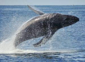 Beaching Humpback whale on sunny day