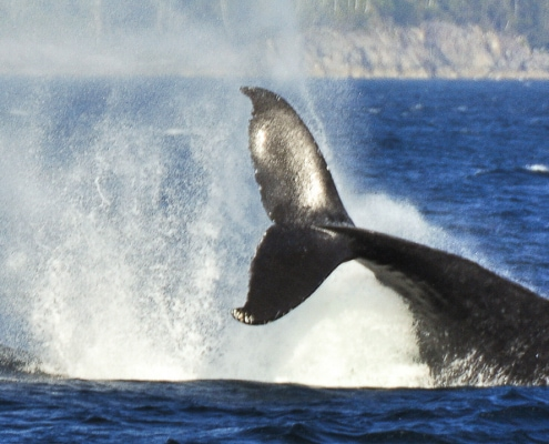 Back and tail of Lobtailing Humpback whale, head is under water