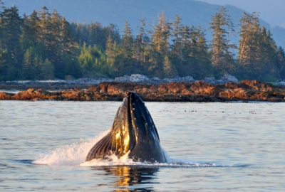 Humpback Whale lunge feeding, showing mouth with water gushing out and pleats extended, rocky shoreline in background