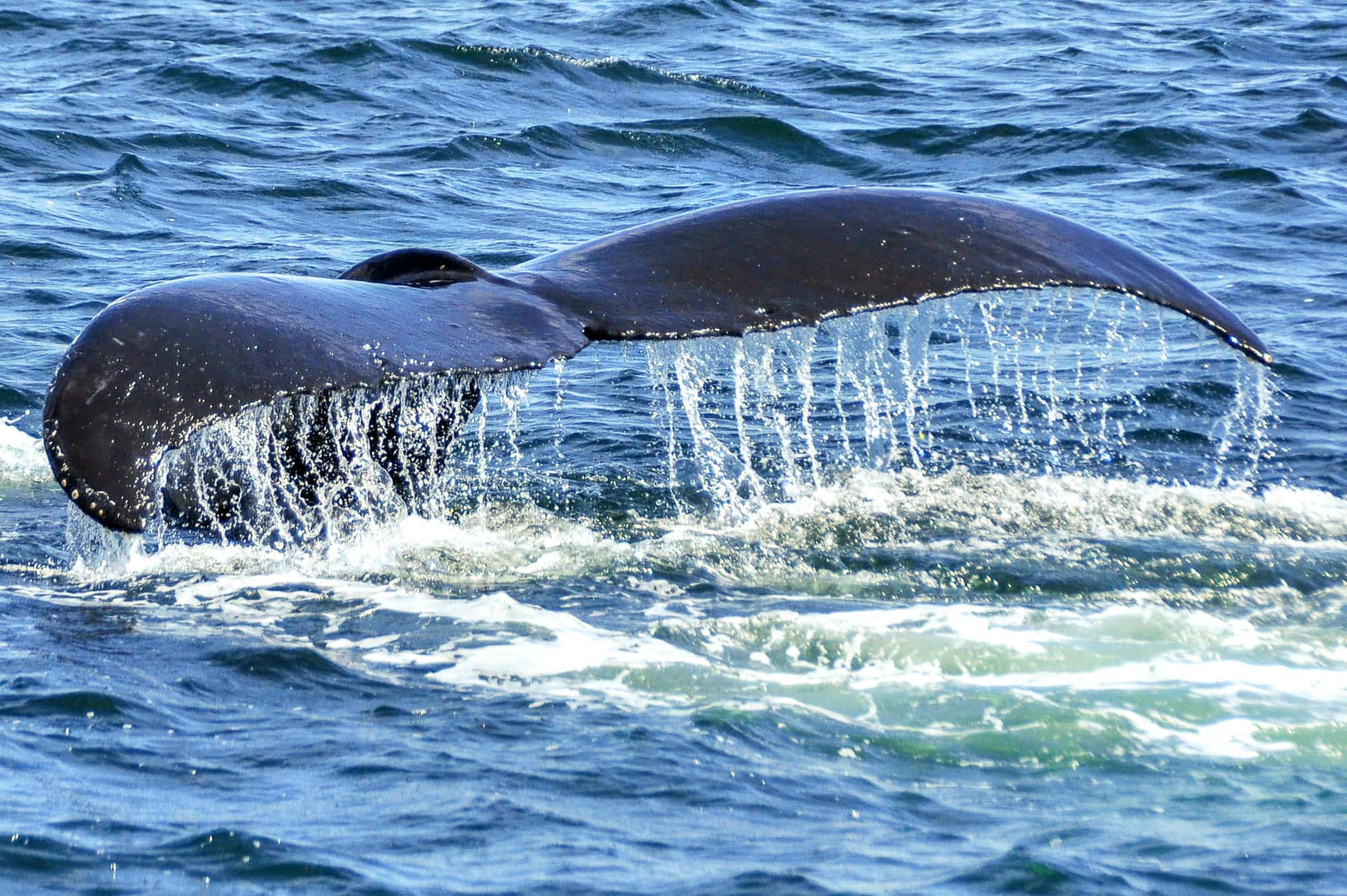 Humpback Whale's tail as he takes a dive, seen from behind, water dripping off tail