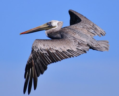 Brown pelican flying with wings spread