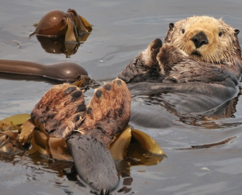 Sea otter lying on back beside kelp with head, feet and front paws sticking out