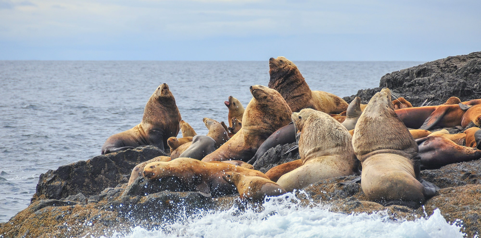 Colony of Steller sea lions crowded together on rock with huge males sitting up