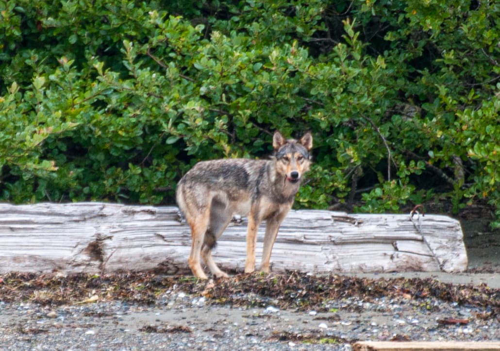 Wolf standing on beach in front of bleached, fallen log