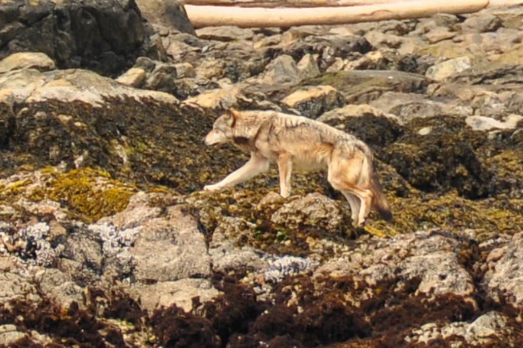 Side view of wolf walking across algae covered rocks