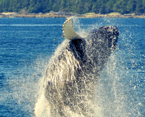 Breaching Humpback whale with lots of water dripping off it as it comes out of water